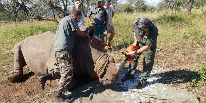 Rhino dehorning in South Africa: a necessary step to save rhinos and stop poaching