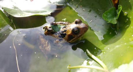 KU Biodiversity Action Group find signs of amphibian disease in Penrhyn Road campus pond